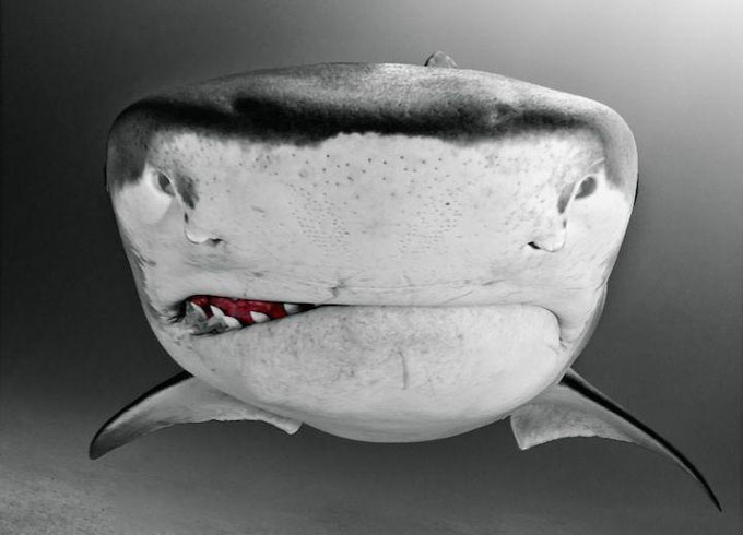 Фото: злая тигровая акула