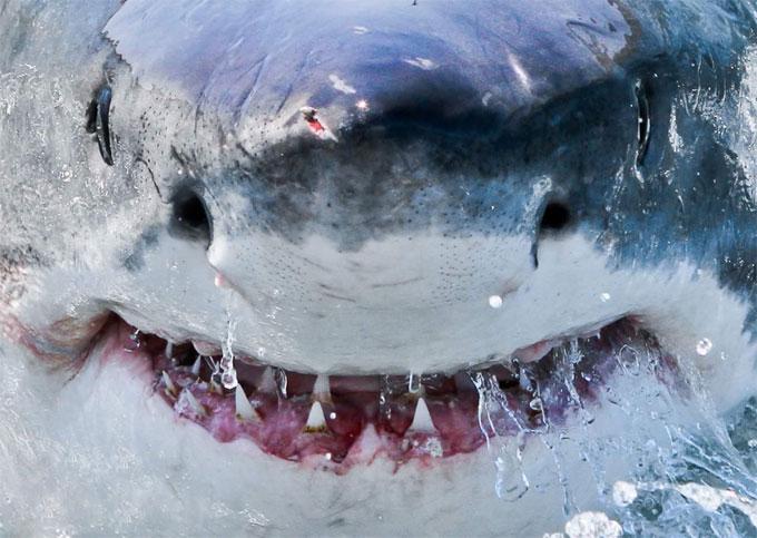 Фото: улыбка большой белой акулы