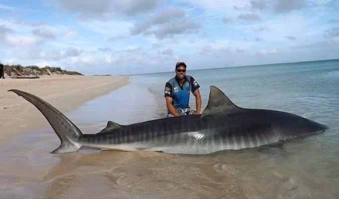 Фото: рыбак поймал огромную тигровую акулу
