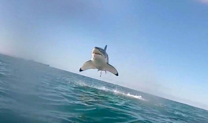 Фото: прыжок летающей белой акулы