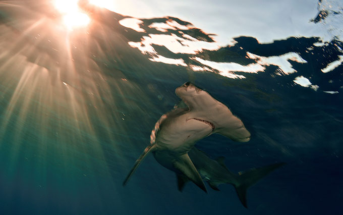 Фото: молотоголовая акула и солнце