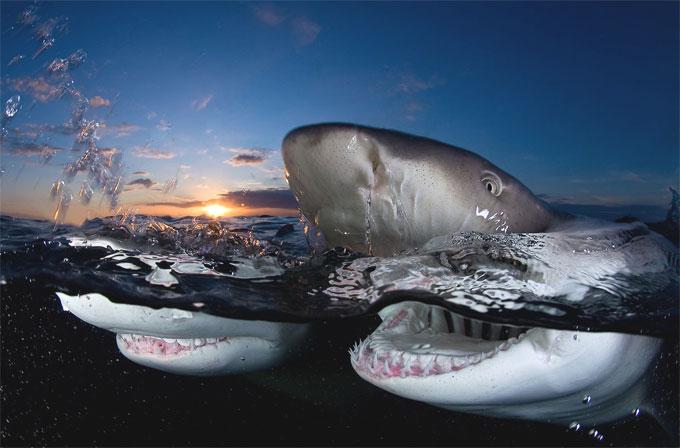 Фото: две акулы плывут на поверхности воды