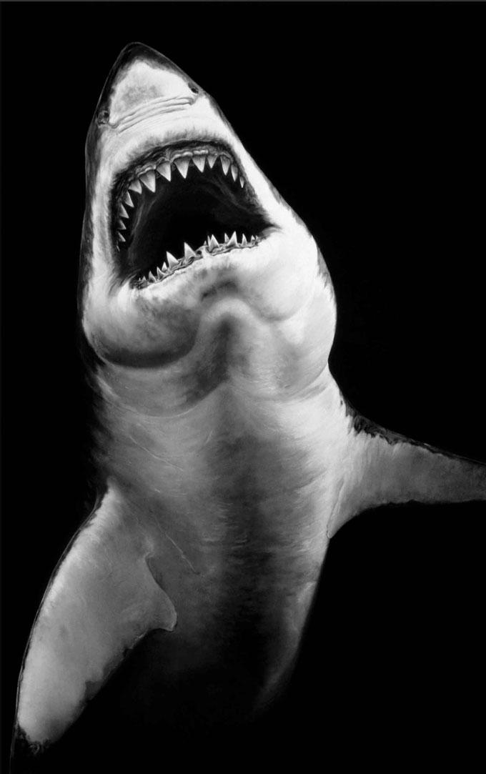 Картина белой акулы угольным карандашом