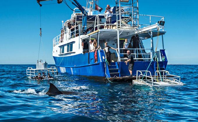 Погружение к белым акулам в клетке
