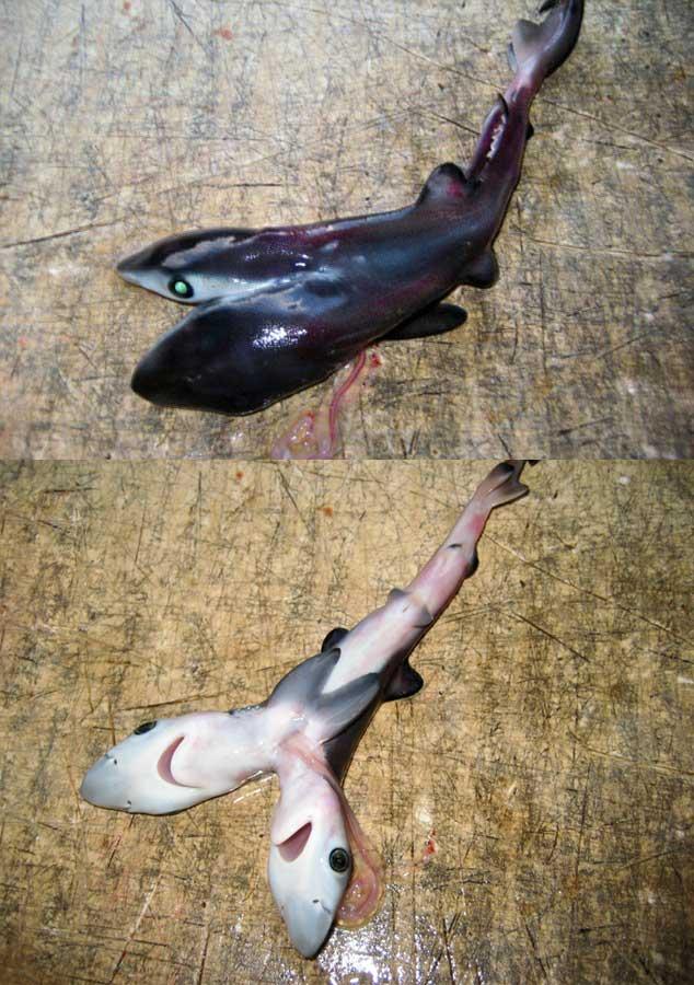 Двухголовая акула мутант