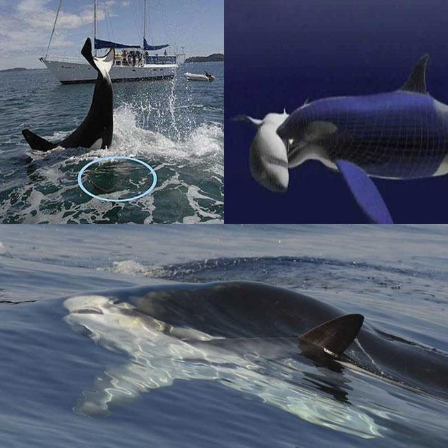Косатки напали на большую белую акулу