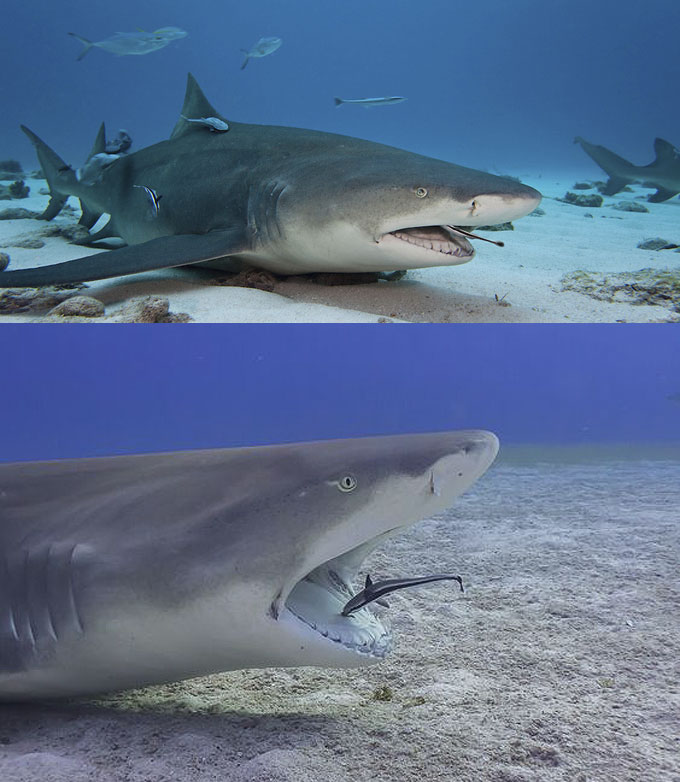 Отношения акулы и рыбы-прилипалы - симбиоз