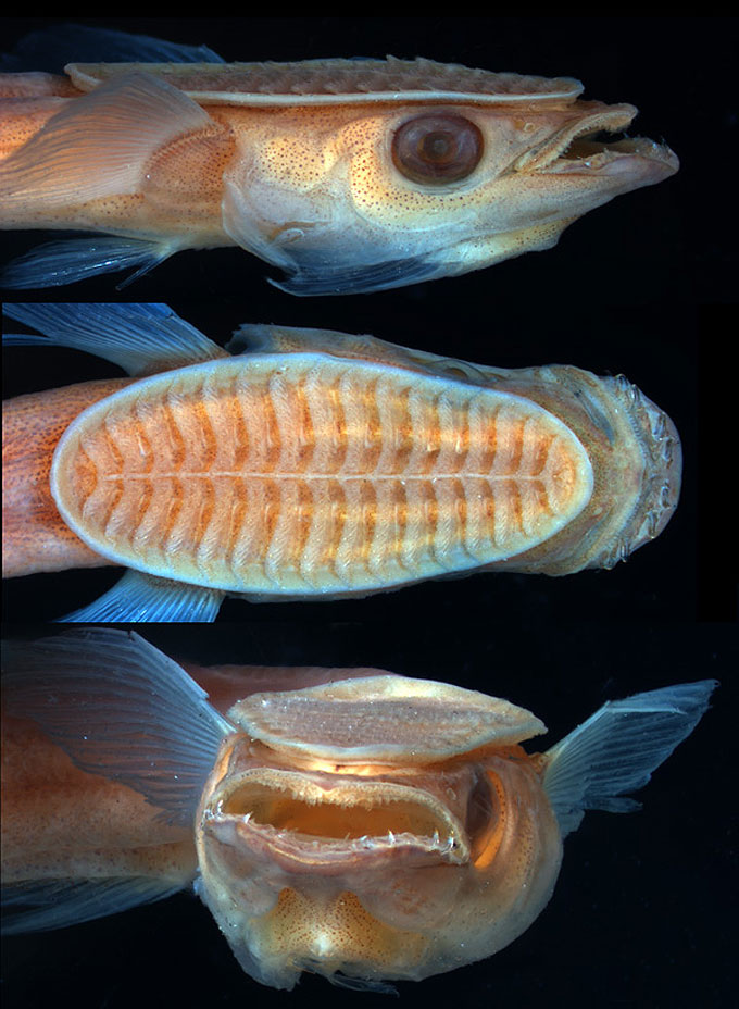 Фото - рыба-прилипала