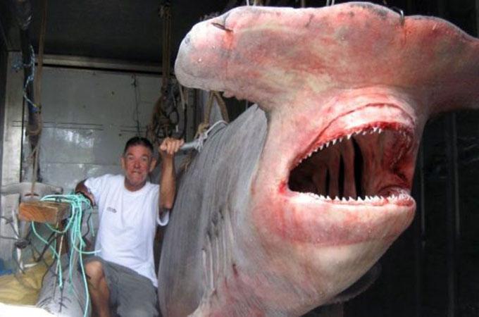 Самая большая пойманная акула-молот