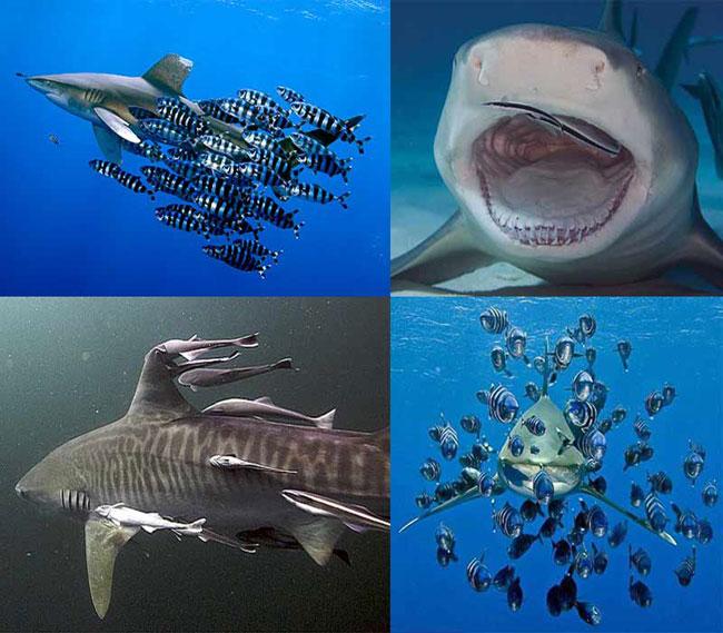 Сателлиты акул - лоцманы и рыбы-прилипалы