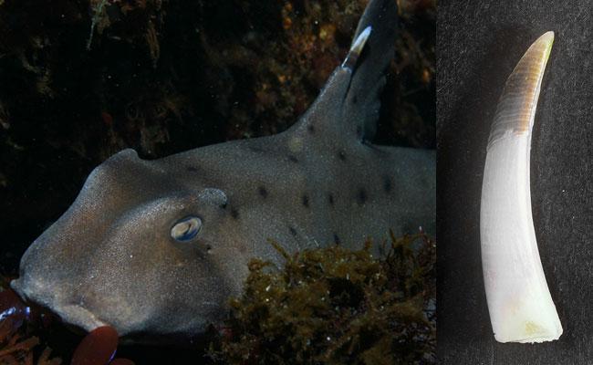 Ядовитый шип рогатой акулы