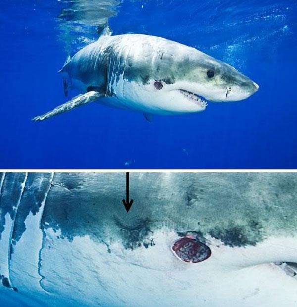 Жертвы большезубой сигарной акулы эктопаразита