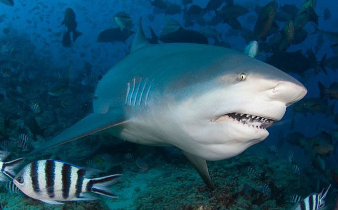 Опасная бычья акула