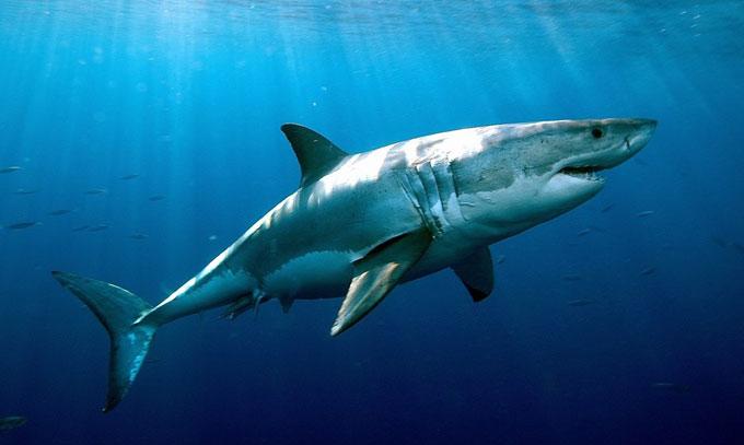 Опасная белая акула