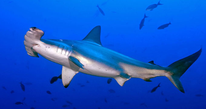 Опасная акула-молот