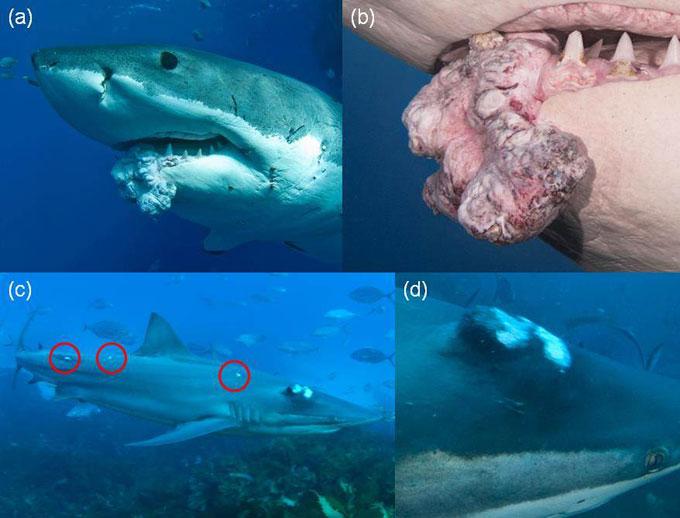 Онкология и лечение рака - акулы болеют раком