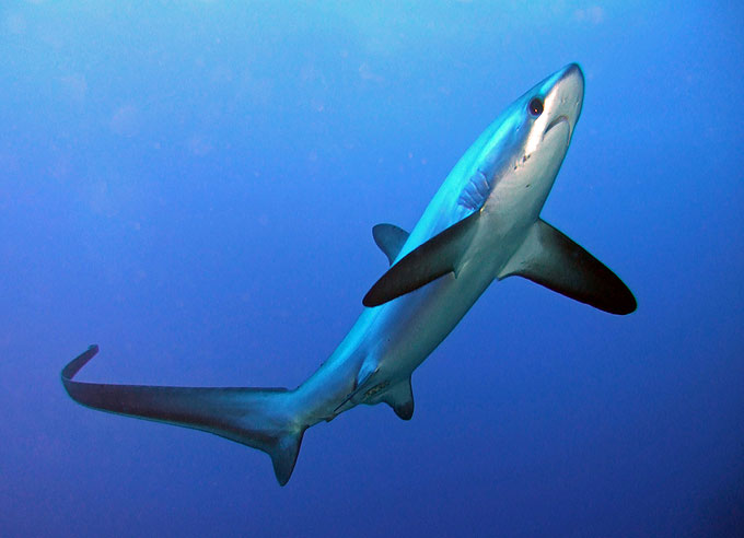 Фото: Акула-лиса Thresher shark
