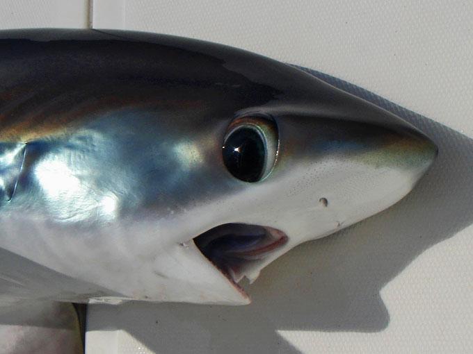 Фото: большеглазая морская акула-лисица