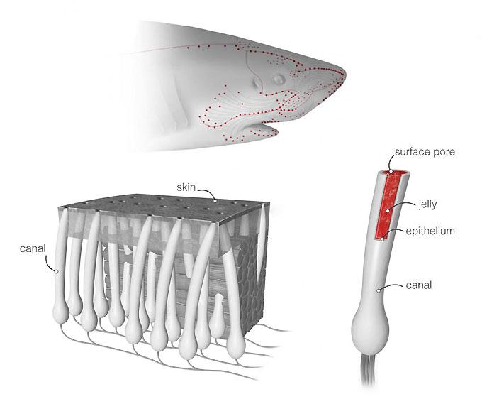 Схема: как работают электрочувствительные органы акулы?