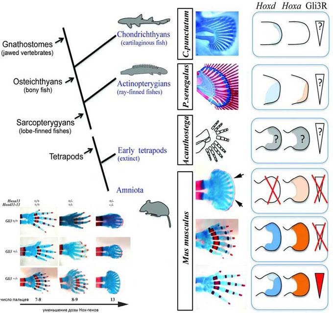 Гены конечностей и развитие плавников
