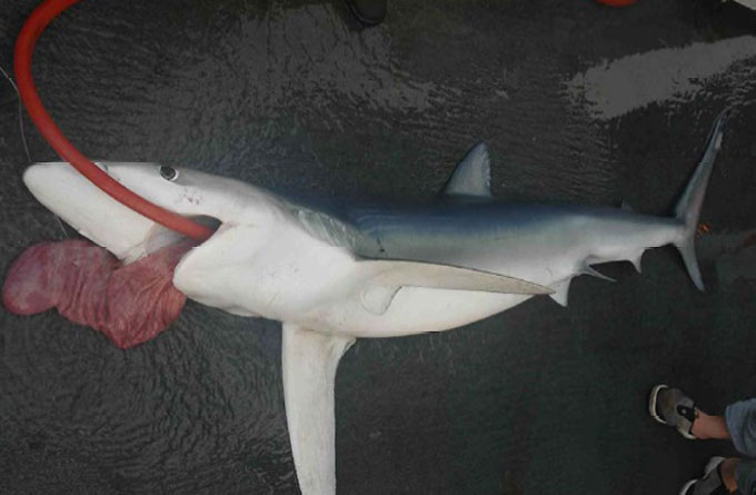 Фото: Содержимое желудка акулы
