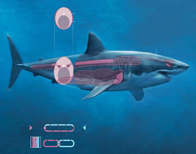 Фото: Мускулатура и мышечная ткань акулы