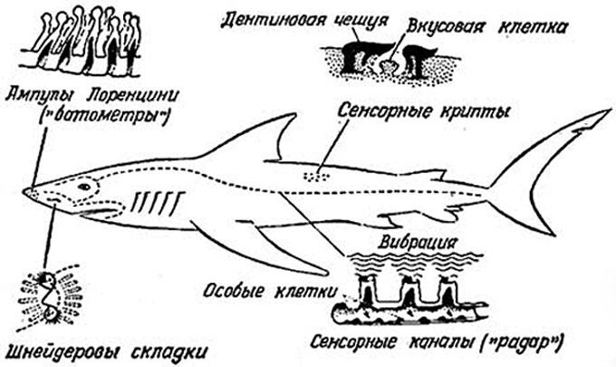 Фото: Органы чувств акулы - устройство сенсоров