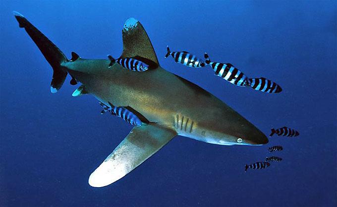 Длиннокрылая акула - Отряд Кархаринообразные