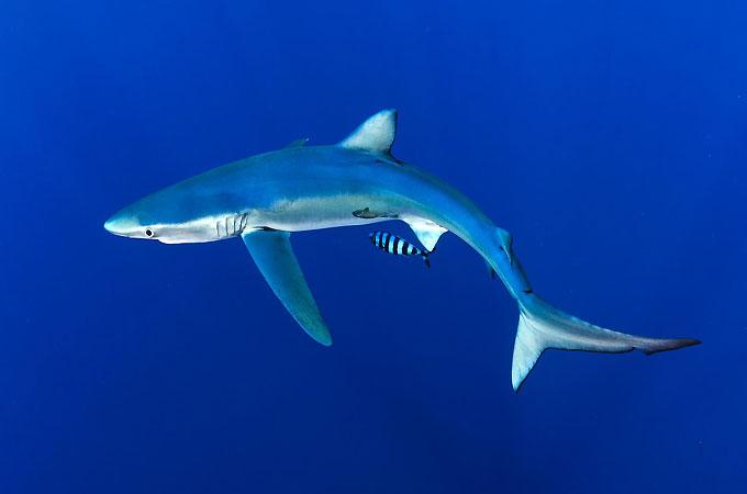 Голубая акула - Отряд Кархаринообразные