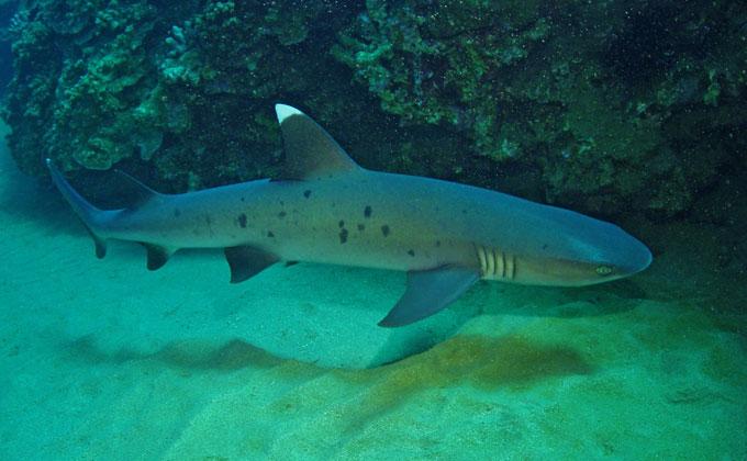 Белоперая рифовая акула - Отряд Кархаринообразные