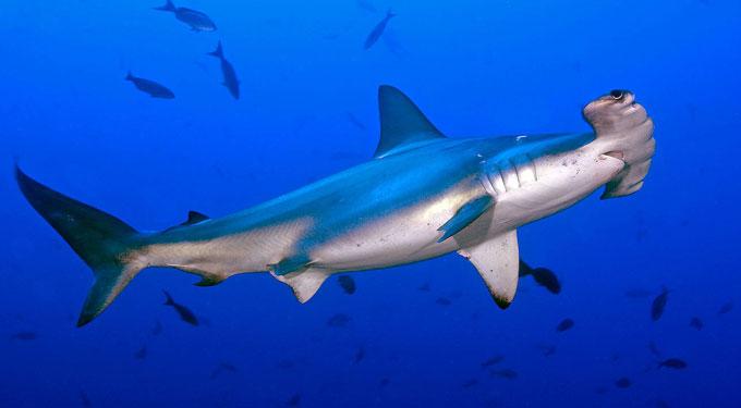 Акула-молот - Отряд Кархаринообразные