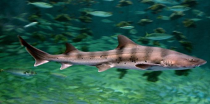 Кунья акула - Отряд Кархаринообразные