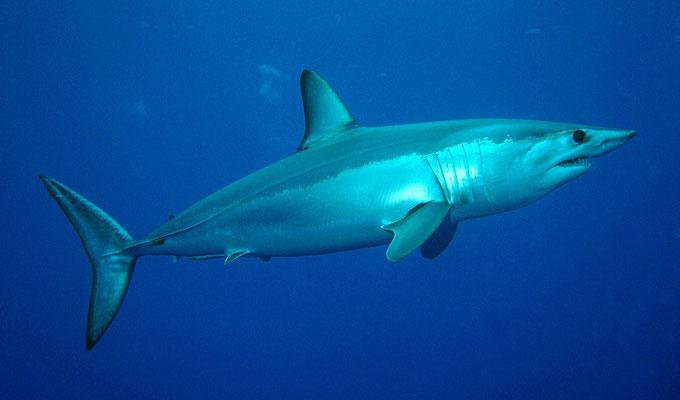 Акула-мако - Отряд Ламнообразные