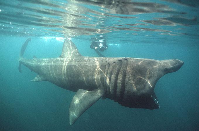 Гигантская акула - Отряд Ламнообразные