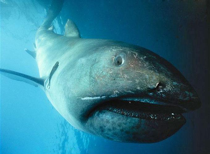 Большеротая акула - Отряд Ламнообразные