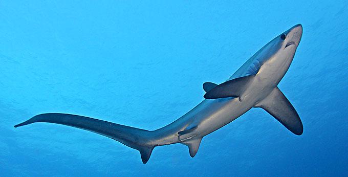 Лисья акула - Отряд Ламнообразные