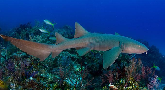 Акула-нянька - Отряд Воббегонгообразные