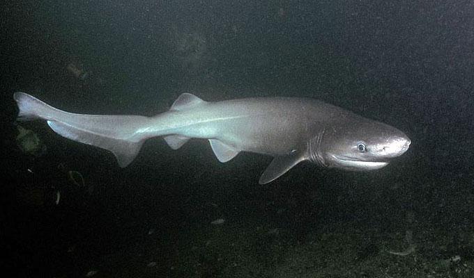 Шестижаберная акула - Отряд Многожаберникообразные