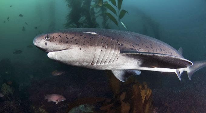 Семижаберная акула - Отряд Многожаберникообразные