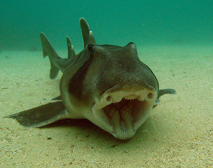 Рогатая акула - Отряд Разнозубообразные