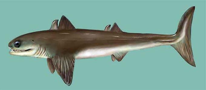 Древняя акула Кладоселахия