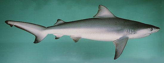 Фото: Род акул Carcharhinus - Серые акулы