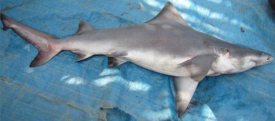 Фото: Род акул Glyphis - Пресноводные серые акулы