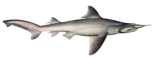 Фото: Род акул Isogomphodon - Остроносые акулы