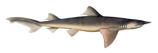 Фото: Род акул Lamiopsis - Широкоперые акулы