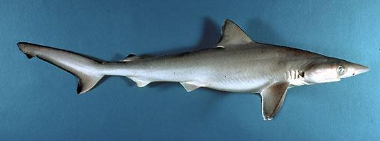 Фото: Род акул Loxodon - Щелеглазые серые акулы