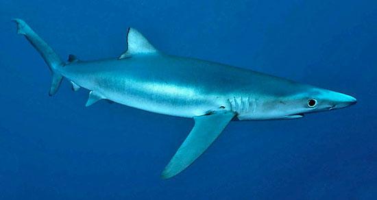 Фото: Род акул Prionace - Синие акулы