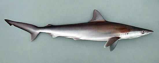 Фото: Род акул Rhizoprionodon - Длиннорылые акулы