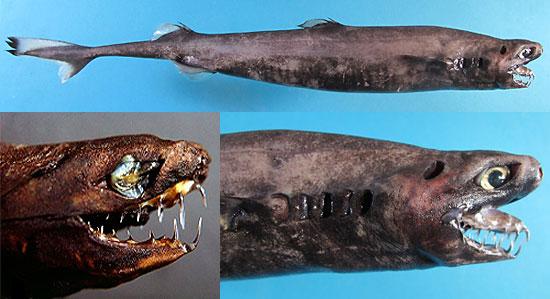 Фото: Род акул Trigonognathus - треугольноротые акулы