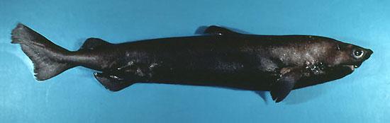 Фото: Род акул Centroscymnus - Белоглазые акулы